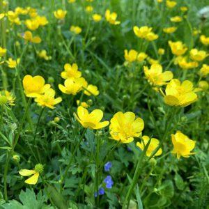 Kukkaketo täynnä keltaisia leinikkejä.