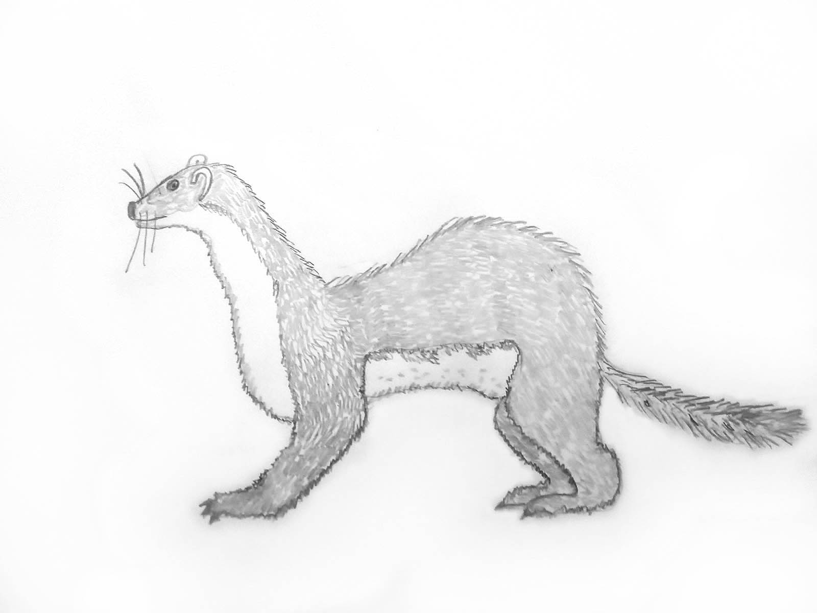 Harmaansävyinen lyijykynäpiirros pörröisestä valppaana seisovasta kärpästä tai näädästä. Sen vatsa on vaalea ja tumma selkä kaarella.